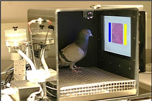pigeon detects cancer